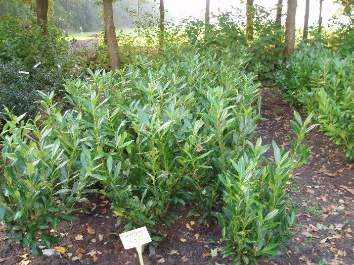 Prunus laur. 'Caucasica'