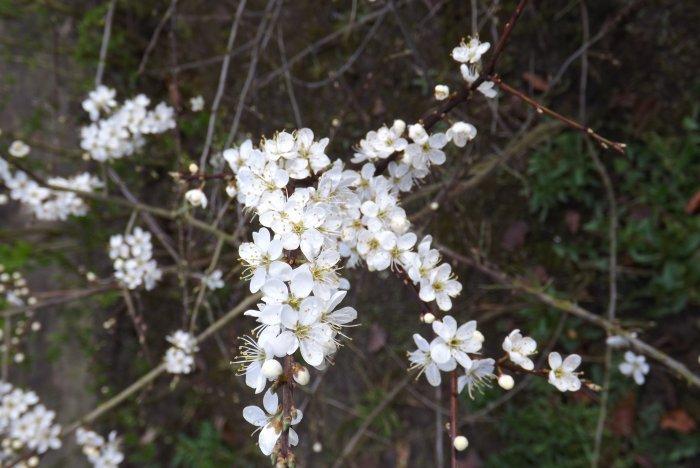 Sleedoorn (Prunus spinosa)