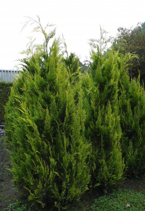 Chamaecyparis lawsoniana 'Ivonne'