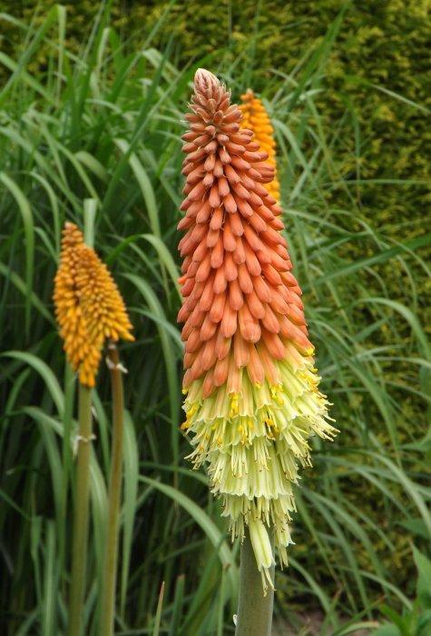 Kniphofia uvaria 'Grandiflora'