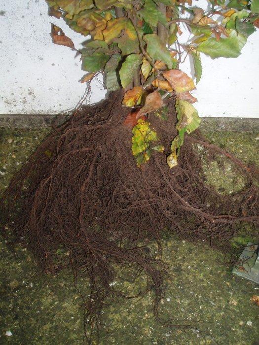 Fagus sylvatica (wortelgestel)