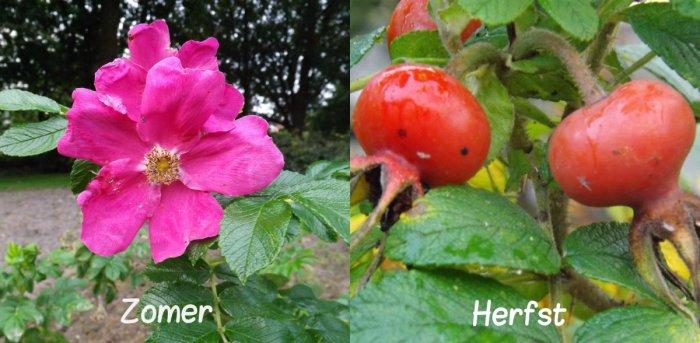 Rosa rugosa 'Rubra'