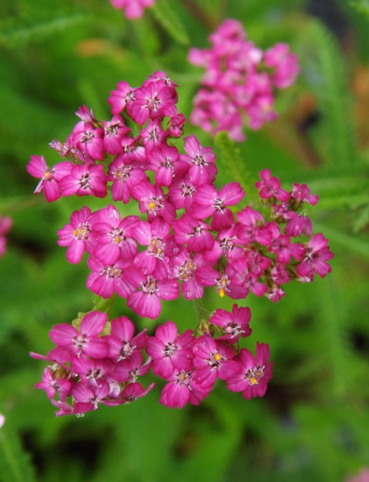 Achillea mill.´Cerise Queen´