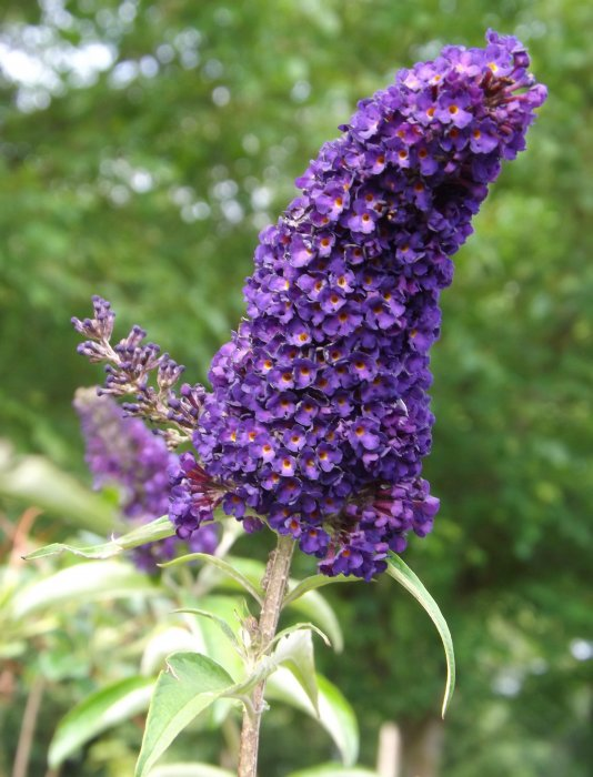 Buddleja dav. 'Black Knight'